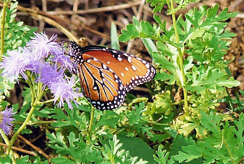monarch07