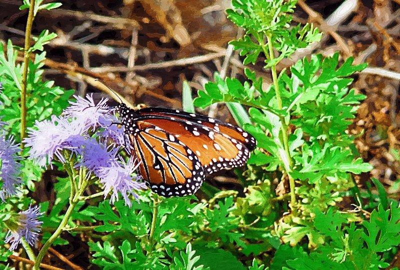 monarch08