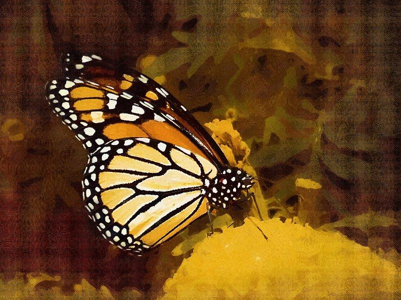 monarch11
