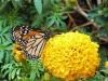 monarch09