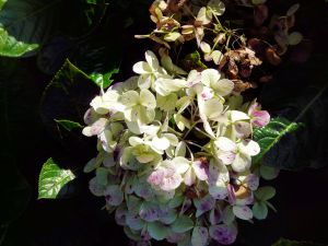 Hydrangea at Holualoa, Hawaii